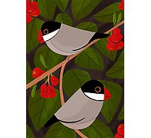 Java Sparrow  Photographic Print