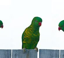 Scaly Breasted Lorikeets by TGrowden