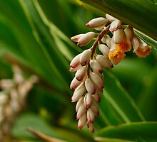 Flower From a Ginger Plant by Rob Moffatt