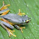 Orange Thighed Tree Frog by triciaoshea