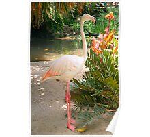 Flamingo, Adelaide Zoo Poster