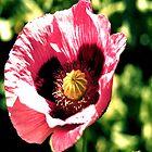 Vibrant Poppy by Joanna-Marie