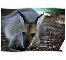 Wallaby Resting Poster