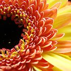 Multi-colored Gerbera Daisy by Alison Netsel