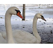 Mr & Mrs Swans Photographic Print