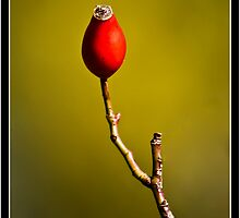 Rose Hip by Ben  Warren