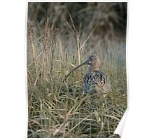 curlew in the grass Poster