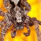 House Spider by Cameron Hampton
