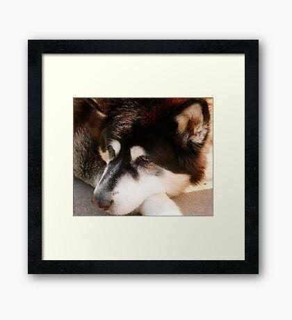 Alaskan Malamute Framed Print