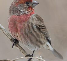 House Finch by noffi