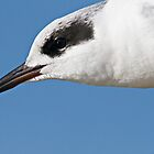 Forster&#x27;s Tern Close Up by Michael  Moss