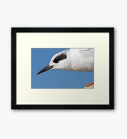 Forster's Tern Close Up Framed Print