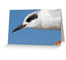 Forster's Tern Close Up Greeting Card