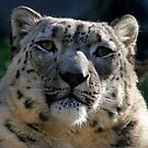 A Captive Expression (Snow Leopard) by Martin Smart