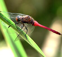 CANT SETTLE DRAGON FLY by Ekascam