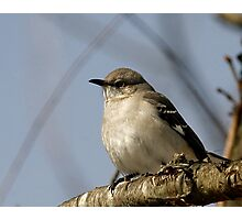 Northern Mockingbird Photographic Print