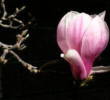 Magnolia x soulangeana by stevenwells