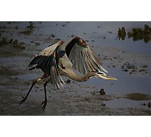 Great Blue Heron Take Off Photographic Print