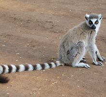 Pretty Ring-tailed Lemur by cute-wildlife