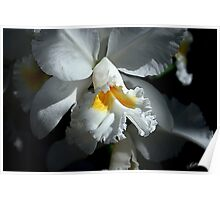 White Cattleya Poster