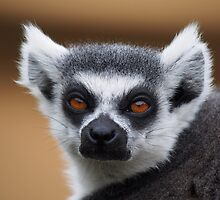 Furry Ring-tailed Lemur by cute-wildlife