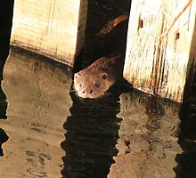 Otter at Waterhead, Windermere by Linda Lyon