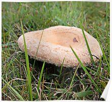 Wooly Milk Cap Fungi - lactarius torminosus Poster