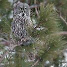 Great Gray Owl by Bill Maynard