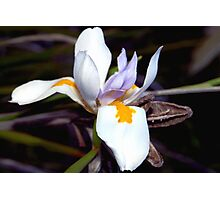 Wild iris with pods Photographic Print