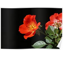 Gizmo rose Poster