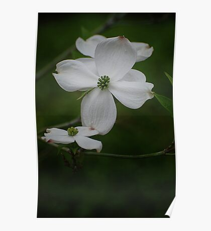 Dreams of Dogwood Blooms Poster