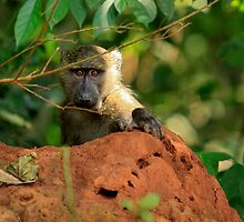 Baby Baboon by Inksphoto