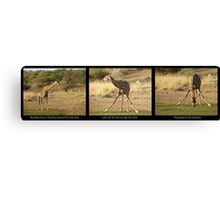Triptych of Giraffe Drinking, South Africa Canvas Print