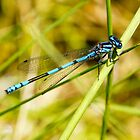 Damselfly at our pond today (Jan 3rd)  by Ron Co
