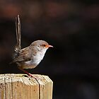 Female Fairy Wren by Barb Leopold