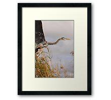 Great Blue Heron Takes Flight Framed Print