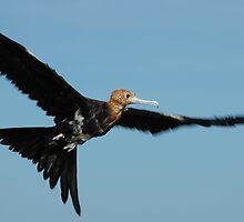 On the wing - Immature frigate bird, Adele Island Nature Reserve by Pamela Jennings