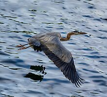 Great blue heron in fly by LudaNayvelt