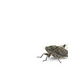 Cicada by Apteryx