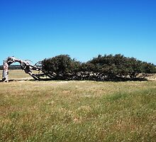 Greenough Leaning Tree by TeenyLeigh