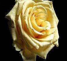 Yellow Rose by Doug McRae
