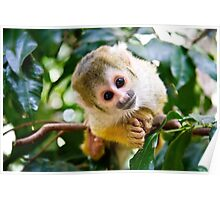 Cute spider monkey  Poster