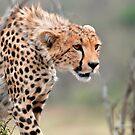 Male Cheetah  by Brad Francis