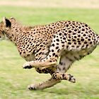 Cheetah Sprint by Brad Francis
