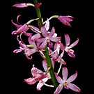 Hyacinth Orchid by Barb Leopold