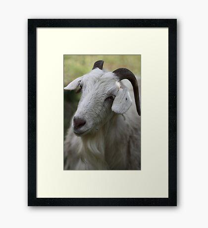 A Goat Portrait Framed Print