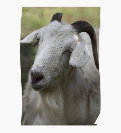 A Goat Portrait Poster