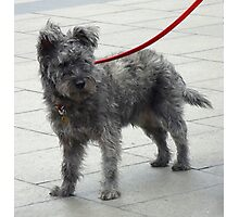 Shaggy Dog with Red Lead Photographic Print