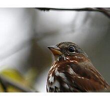 Fox Sparrow Photographic Print