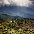 Happy Tea Estates, Darjeeling by David Pinzer